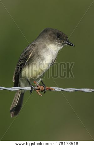 Eastern Phoebe flycatcher, Sayornis phoebe sits on a wire in Florida ready to dart out for prey