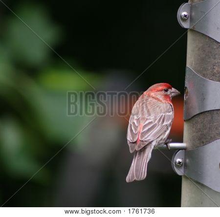 Red Head Feeding At Bird Feeder