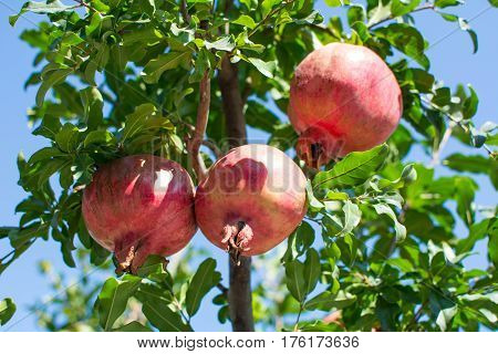Pomegranate Growing From The Tree
