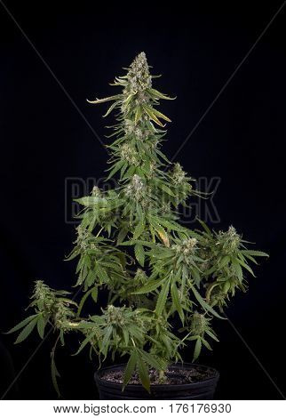 Cannabis plant growing on a pot (green crack marijuana strain) with late flowers ready to harvest - isolated over black background