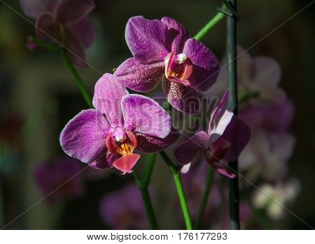Pink Flowers Orchid On A Dark Background