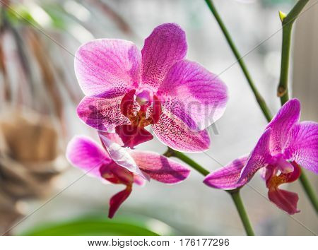 Pink Flowers Orchid On A Light Background