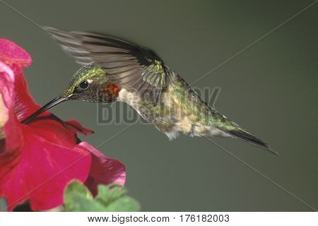 A male Ruby-throated Hummingbird, archilochus colubris in flight  hovering at a red flower