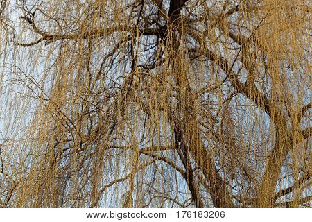 Branches of a Babylon willow (Salix