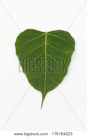 Bodhi Tree On a white background in thailand