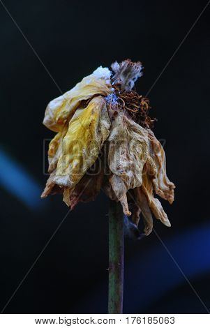 Withered yellow rose after a cold winter snowfall