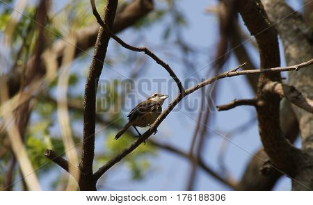 a juvenile light brown bird of raptor family