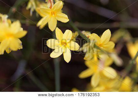 A flower of Winter jasmine (Jasminum nudiflorum)