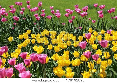 Beautiful bright colorful tulips on a sunny day