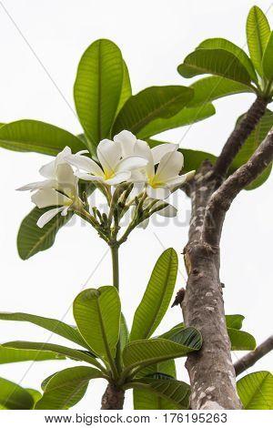 white Frangipani flower , Plumeria nature beauty