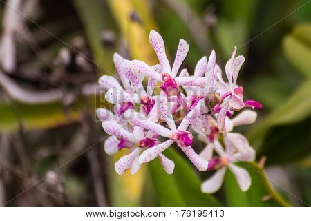 Pink vanda orchids , fahmui flowers nature