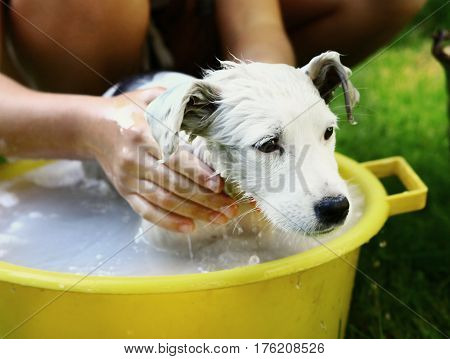 Dog White Puppy Wash In Yellow Basin