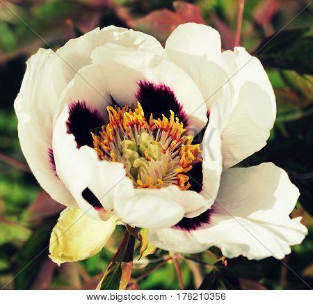 Bloossom of white peony flower-Paeonia suffruticosa in garden
