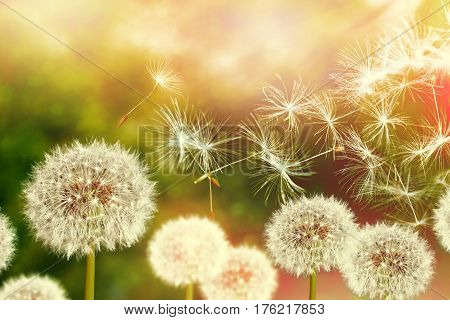 Fluffy dandelion flower against the background of the summer landscape.