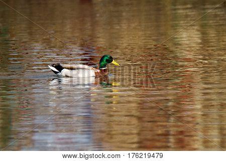Animal A Wild Drake Swims On A Pond