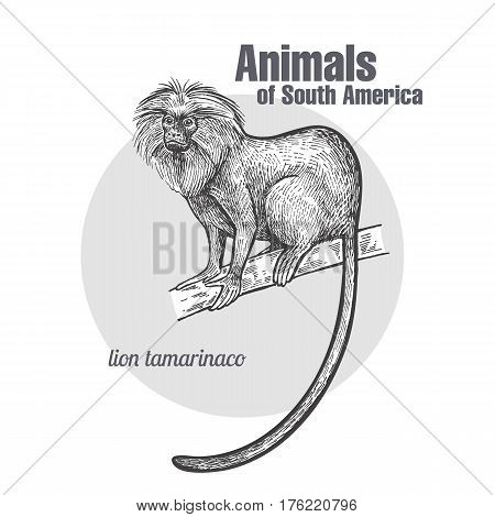 Lion tamarin hand drawing. Animals of South America series. Vintage engraving style. Vector illustration art. Black and white. Object of nature naturalistic sketch.