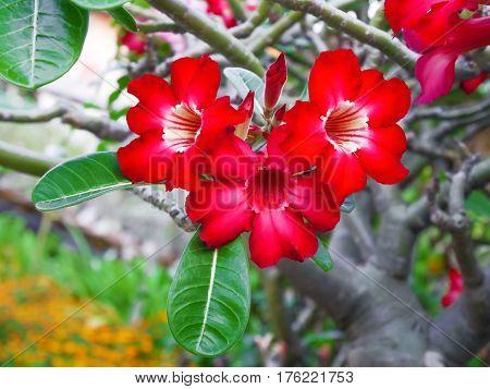 beatiful desert rose flower, Impala Lily, Mock Azalea