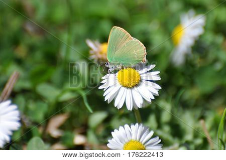 Callophrys rubi, Green Hairstreak butterfly - Lycaenidae family, Background with butterfly on wildflowers