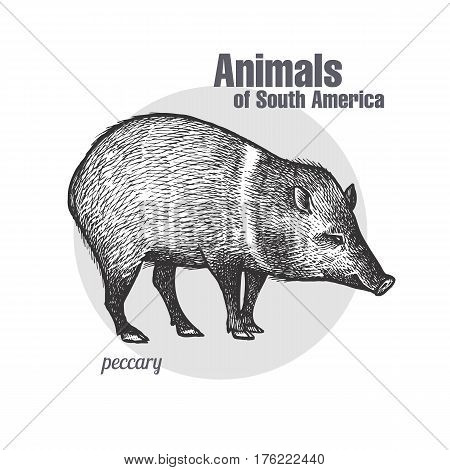 Peccary hand drawing. Animals of South America series. Vintage engraving style. Vector illustration art. Black and white. Object of nature naturalistic sketch.