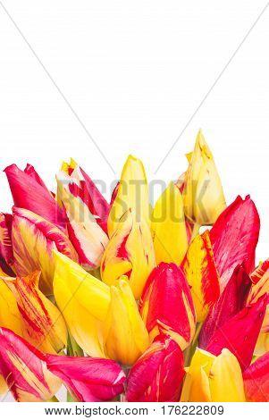 Colorful Tulipes_1