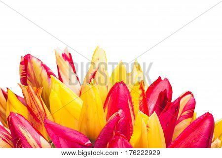 Colorful Tulipes_2