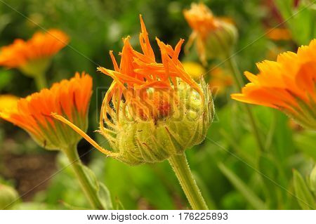 Orange marigold flower bud about to bloom in garden