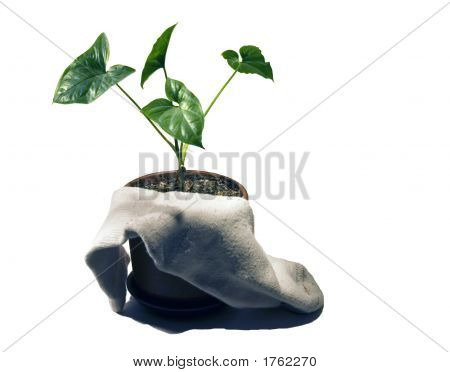 Plant And The Sock
