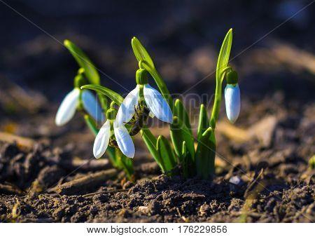Snowdrop. Snowdrop (galanthus) . First spring flowers