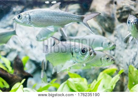 Tarpon Indo-Pacific or Megalops cyprinoides fish with grass background