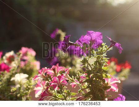 Purple and pink petunia flower on sunset background. Close up shot