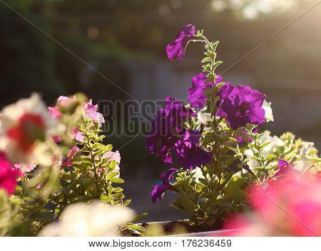 Purple petunia flower on sunset background. Close up shot summer time