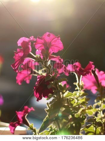 Blooming of petunia flowers in a sunset light. Close up shot