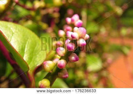 Beautiful pink buds growing in a park garden Basella Alba rubra Red Stem