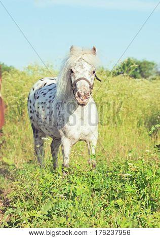 Appaloosa mini pony in the meadow. summer