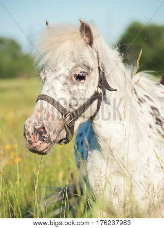 portrait of Appaloosa pony in the meadow