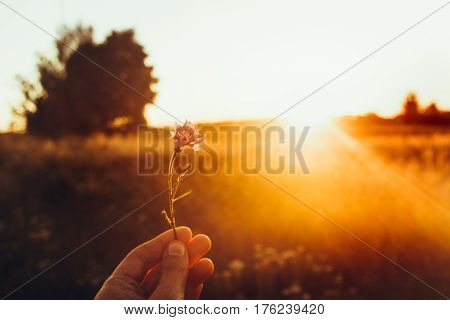 Hand Holding Cornflower In Sunset Rays At Summer Field. Wildflowers In Woman Hand In Meadow Under Am