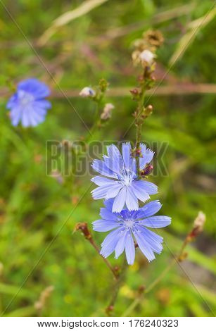 Bright blue wildflowers Common chicory or Cichorium intybus in summer. Close up flowers Chicory