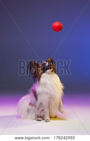 Studio portrait of a small yawning puppy Papillon dog on blue studio background with red ball