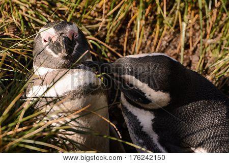 Magellan penguin couple in love in the ahabitat
