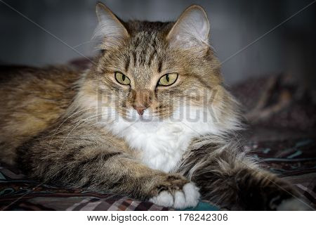 Close Up Portrait of a three colored Housecat in Studio.