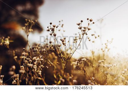 Beautiful Daisy Flowers Blooming In Evening Sunlight In Summer Time In Grassland. Wildflowers In Cou