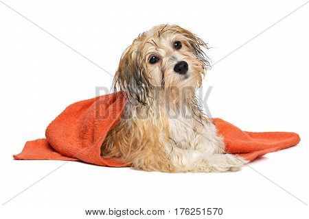 Cute wet havanese puppy dog after bath is lying wrapped in an orange towel, isolated on white background