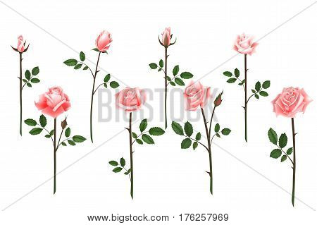 Set of realistic isolated pink roses on a white background. Vector flowers and buds of roses, leaves on white background.