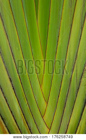 Texture and pattern detail of banana fan (RavenalaRavenala madagascariensis) poster