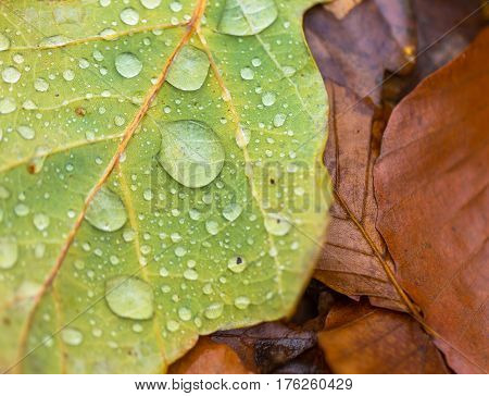 Water Droplets Lying On Autumnal Fallen Leaf