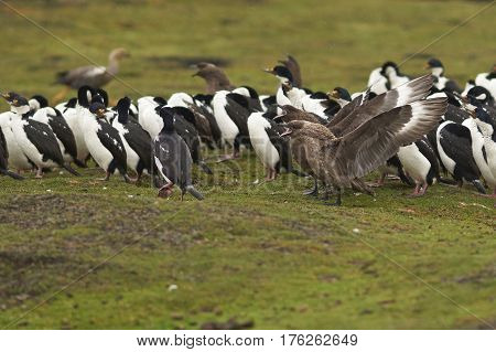 Falkland Skua (Catharacta antarctica) with wings outstretched next to a group of Imperial Shag (Phalacrocorax atriceps albiventer) on Bleaker Island in the Falkland Islands.