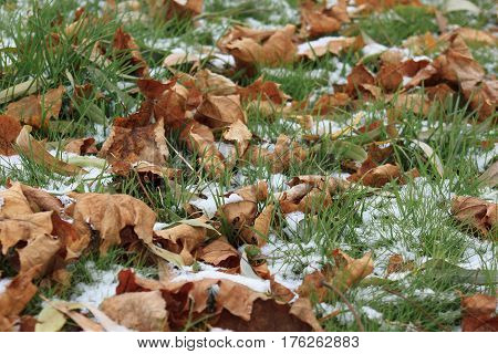 Dry leaves on the snowbound green grass in garden. Beautiful autumn day.