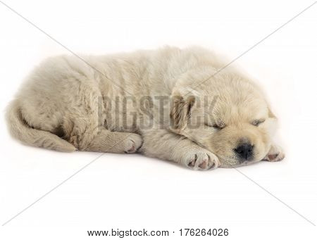 four week old puppy sleeping side shot on a white isolated background puppy is fluffy and cream in color