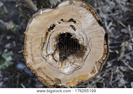a sick tree with a hole sawn close-up, firewood