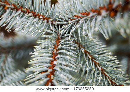 branch of blue spruce closeup with dewdrops background